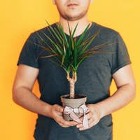 Man holding pot with home plant dracaena. Gift of living flower for March 8 and mother's day