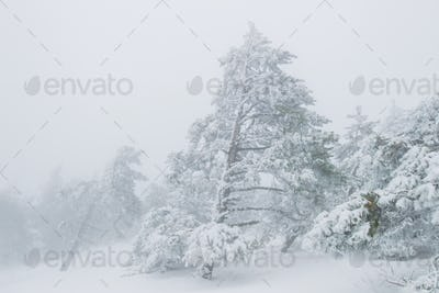 Foggy pine forest in winter