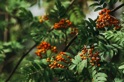 Branches with Rowan berries