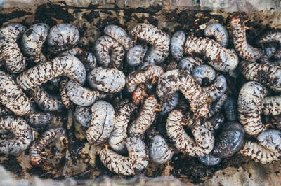 Beetles larvae, texture background of Beetles larvae