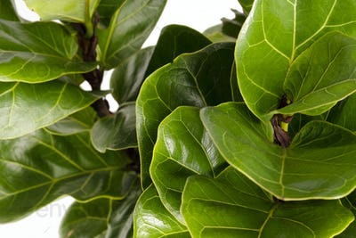 Close up of a Fiddle-leaf fig plant on white background