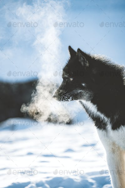 Greenland sled dog with cold breath