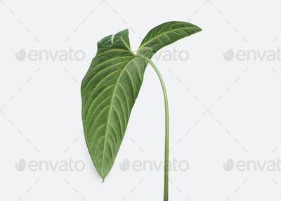 Tropical Alocasia leaf on an off white background