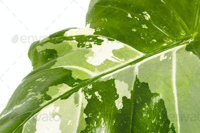 Close up of Alocasia leaf on white background