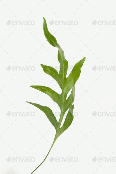 Doryopteris nobilis leaves isolated on white background
