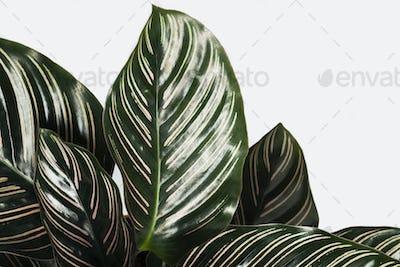 Calathea Ornata leaves patterned background