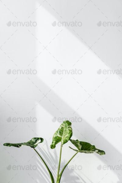 Arrowleaf elephant ear plant by a white wall