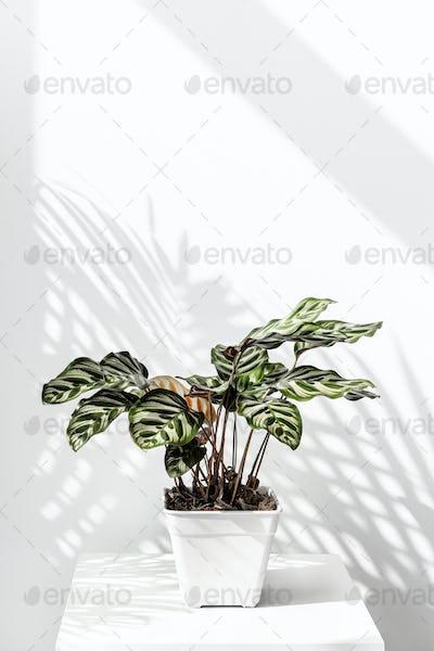 Calathea Makoyana  pot by a white wall