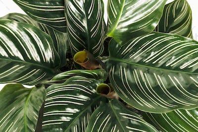 Close up of Calathea Ornata leaves background