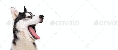 Portrait of a smiling barking siberian husky