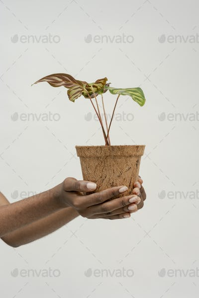 Hand holding a peacock plant in a pot