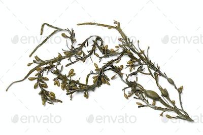 Bladder wrack seaweed on white background