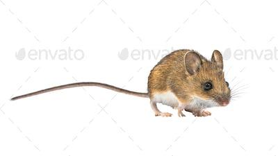 Beautiful mouse isolated on white background