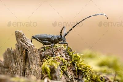Great capricorn beetle on dead wood