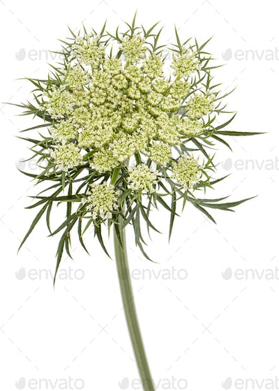 Inflorescence of carrots,  white carrot flowers, isolated on white background