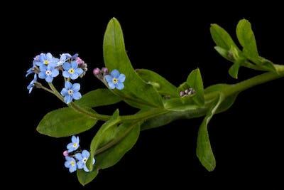 Blue flower of forget-me-not, lat. Myosotis arvensis, isolated on black background