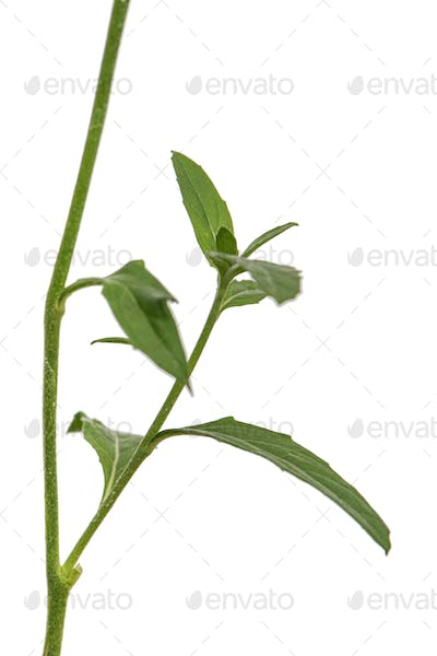 Leafs of Oenothera flower, isolated on white background