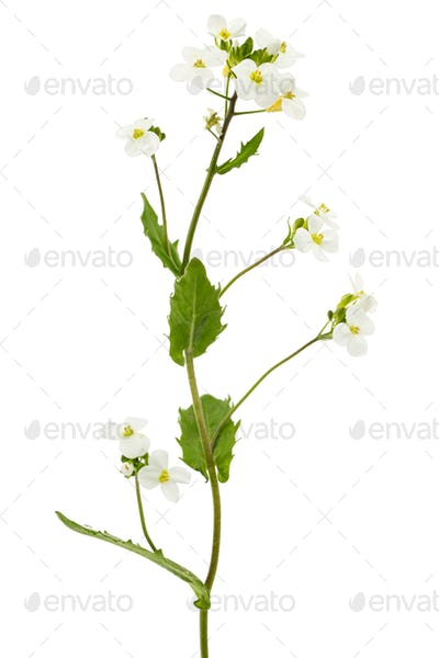 Flowers of arabis, isolated on white background