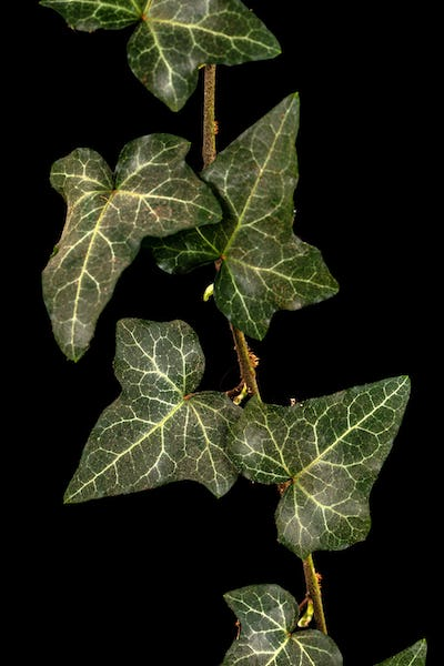 Ivy branch with green foliage, isolated on black background
