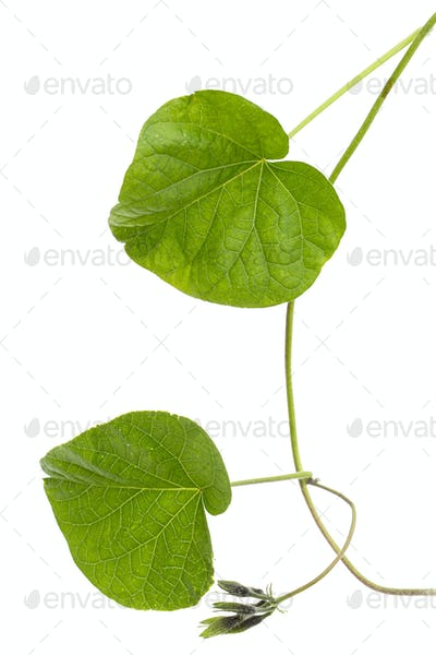 Leaf of  ipomoea, Japanese morning glory, convolvulus, isolated on white background