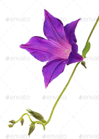 Violet flower of ipomoea, Japanese morning glory, convolvulus, isolated on white background
