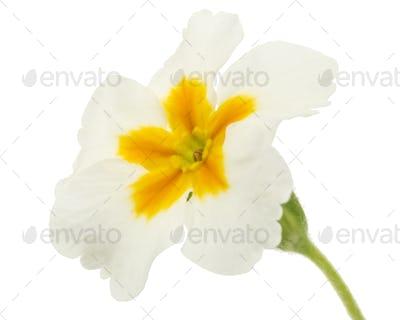 Flower of primrose, isolated on white background