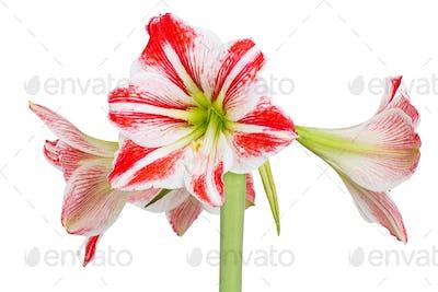 Hippeastrum or Amaryllis flowers, pink amaryllis flowers, isolated on white background