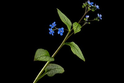Blue flower of brunnera,  forget-me-not, myosotis, isolated on black background