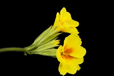 Yellow flowers of primrose, isolated on black background