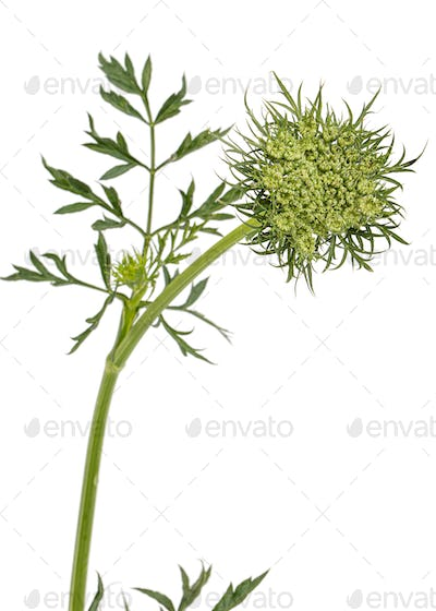 Unblown inflorescence of carrots, isolated on white background