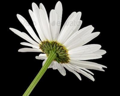 White flower of chamomile, lat. Matricaria, isolated on black background