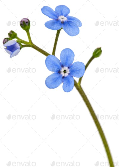 Blue flower of brunnera,  forget-me-not, myosotis, isolated on a white background