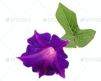 Flower of  ipomoea, Japanese morning glory, convolvulus, isolated on white background