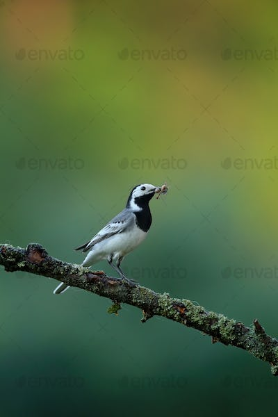 White wagtail holding insect in beak in summer nature