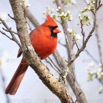 Northern Cardinal in Plum Tree