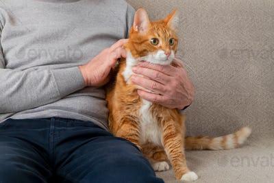 An adult large red cat sits on the couch next to its owner