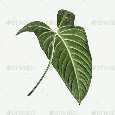Alocasia leaf on white background mockup