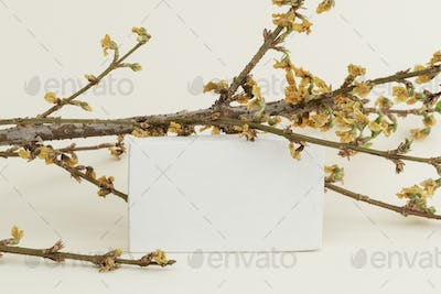 Dried Forsythia branch with a card on a beige background