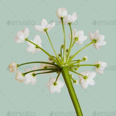 Natural white Allium Neapolitanum flower