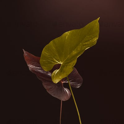 Heart shaped gold and brown Alocasia leaves mockup