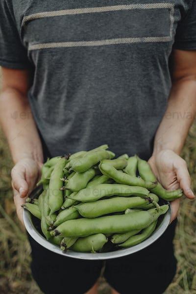 Freshly picked snap peas