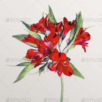 Fresh red Alstroemeria flower isolated on beige background