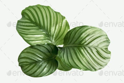 Calathea Orbifolia leaves isolated on background mockup