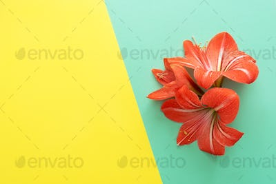 Lush lava flower on turquoise and yellow.