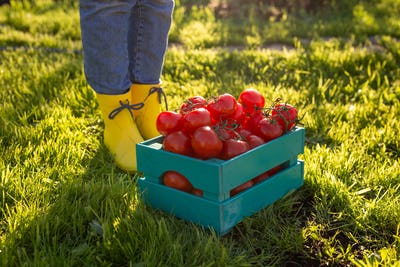 Red tomatoes lie in blue wooden box on green grass backlit by sunlight. Concept of harvesting your