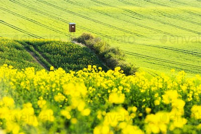 Yellow rape field with hunting tower