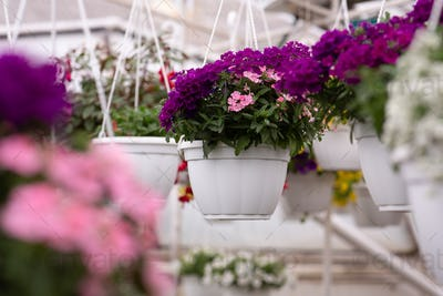 Care for garden, growing flowers in greenhouse, flower production on farm