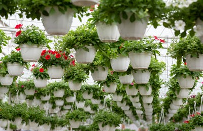 Smart greenhouse, modern business and cultivation of decorative plants
