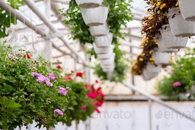 Decorative plants in greenhouse and blooming in spring, summer, exhibition, garden care