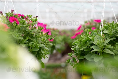 Spring plantation of flowering plants and modern business in smart greenhouse